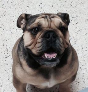 Pet Case Study: Canine Flank Alopecia