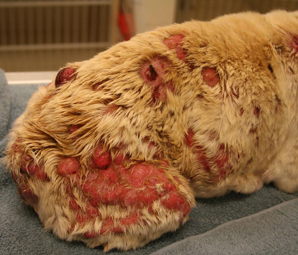 Cancer Photos Animal Dermatology Referral Clinic Adrc