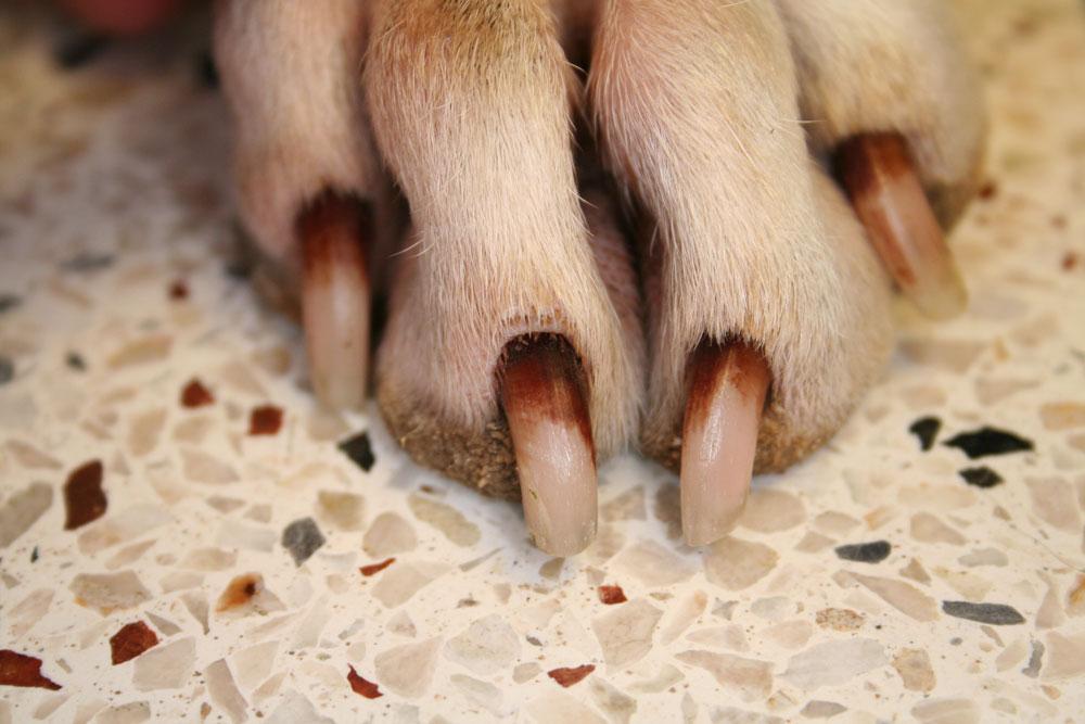 Brown Nail Bed Dog