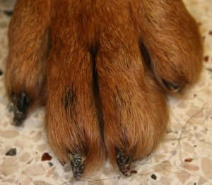 Dog claw disease