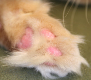 Cat immune mediated skin disease