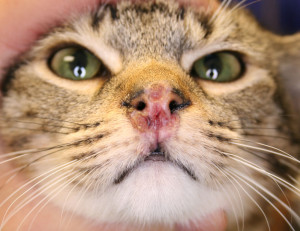 Cat viral dermatitis
