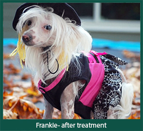 After treatment of Comedones and Follicular Cysts in Hairless Breeds