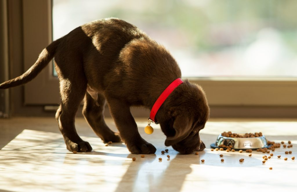 Brown puppy eating dog food