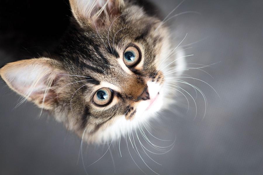 Autoimmune Skin Disease in Cats: Feline Pemphigus