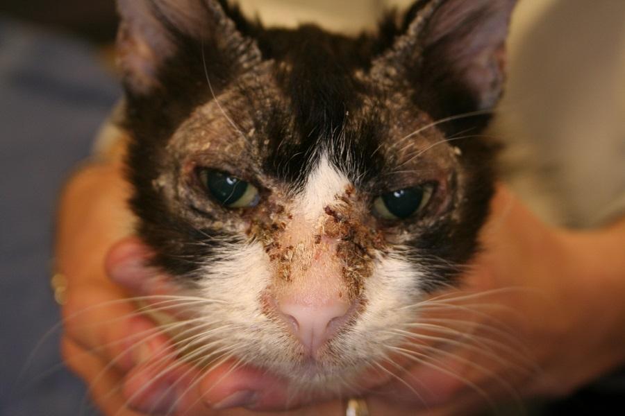 A cat with pemphigus foliaceus
