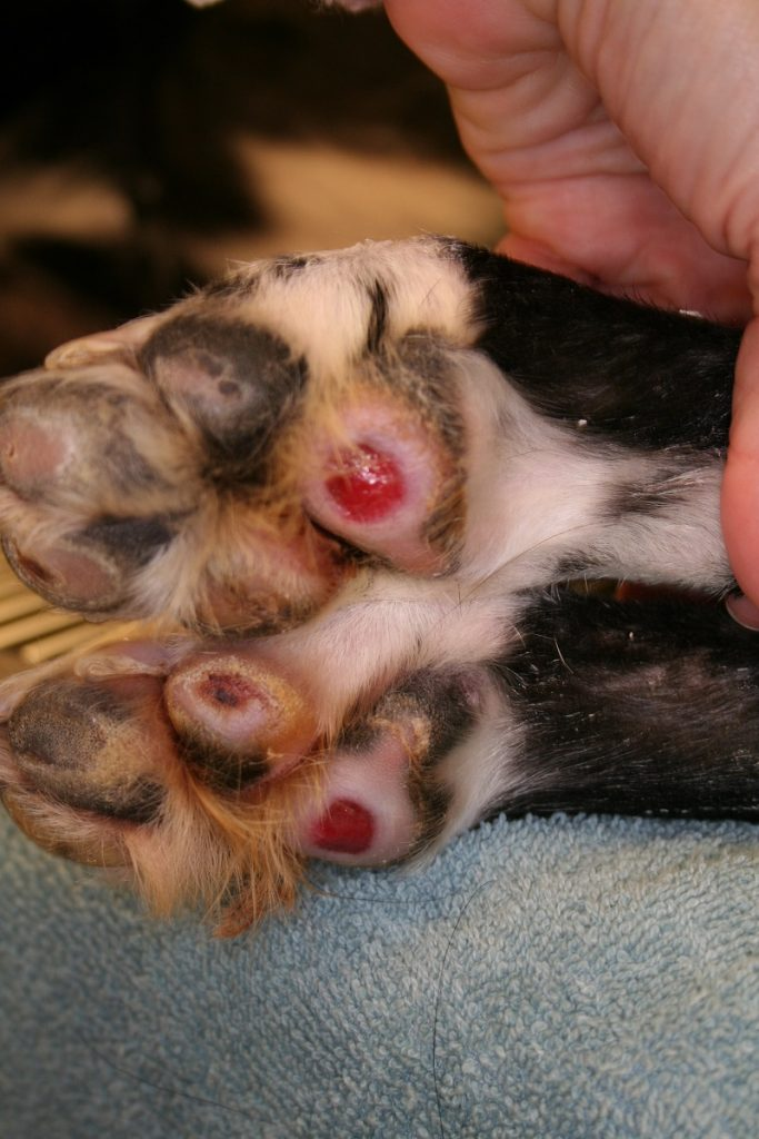 Dog allergy Cutaneous vasculitis