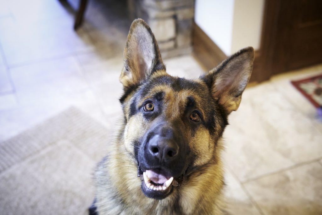 Pet Spotlight/Case Study: Maxine's Perianal Fistulas